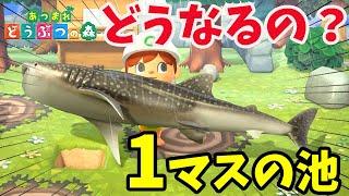 【あつ森】「1マスの池」に超巨大な「ジンベイザメ」を逃がすと・・・・・・・【あつまれどうぶつの森】